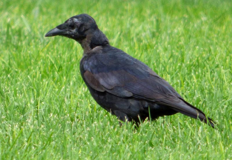 ISU Crow P1000179.jpg