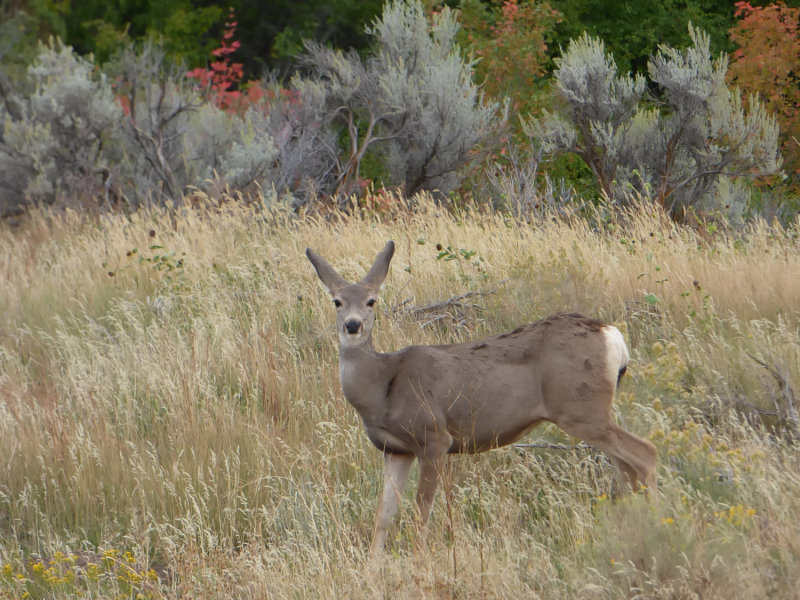Mule Deer at Gibson Jack with Turning Leaves in the Early Autumn P1000378.jpg
