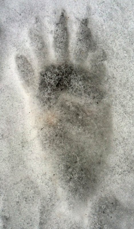 Raccoon paw print in snow IMG_7404.JPG