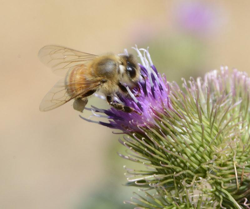 Bee on Thistle _DSC3585.JPG