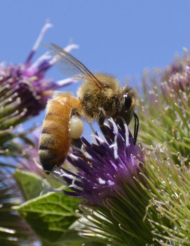 Bee on Thistle _DSC3679.JPG