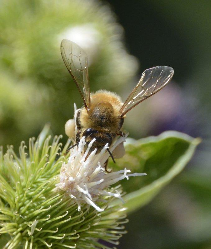 Bee on white thistle _DSC3695.JPG