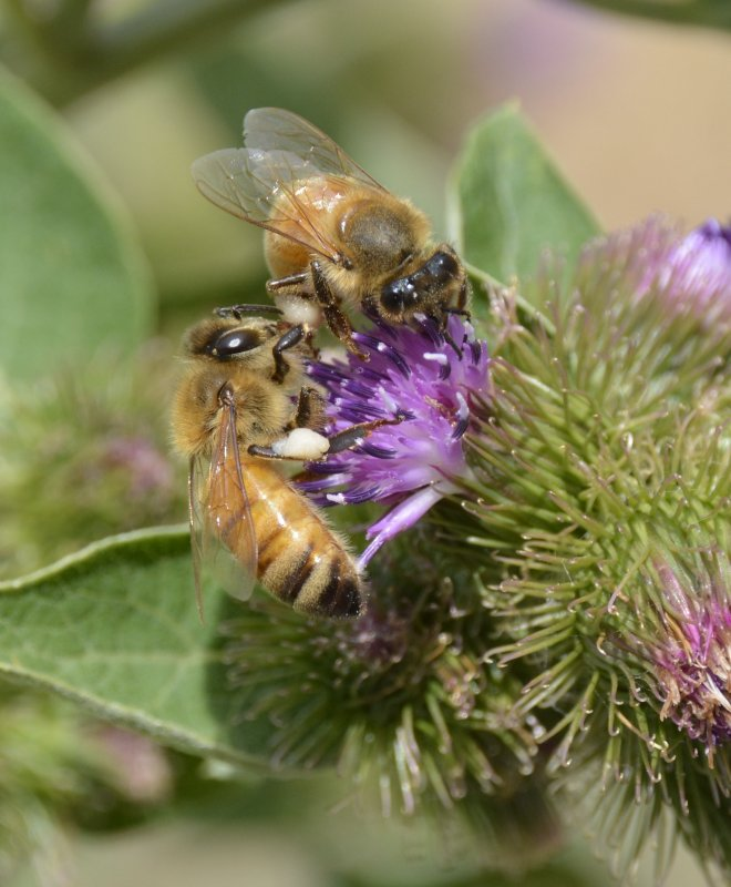 Two bees on thistle _DSC3760.JPG