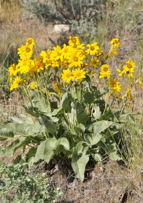 Arrowleaf Balsamroot in the Mountains of Pocatello_DSC0757.JPG
