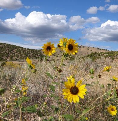 Sunflowers on the Chinese Peak Trail P1000126.jpg