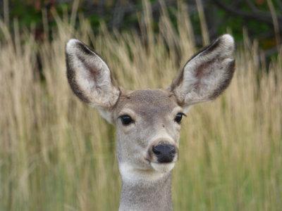 Mule Deer from Gibson Jack Road P1000310.jpg
