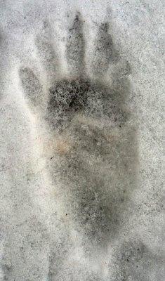 Raccoon paw print in snow IMG_7404.JPG