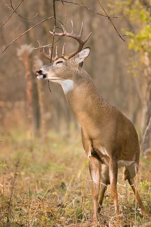 14 point buck scrapes upward