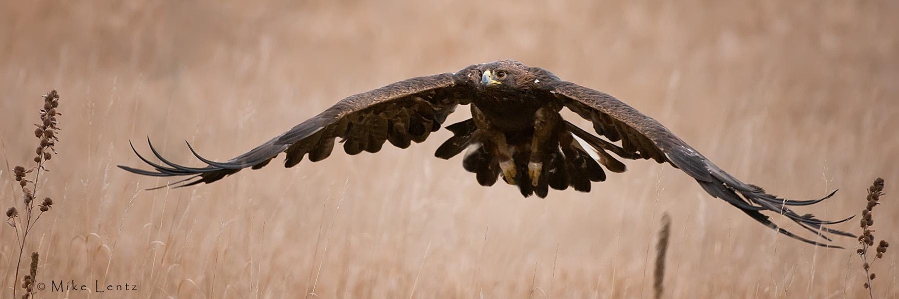 Golden Eagle (Pano)
