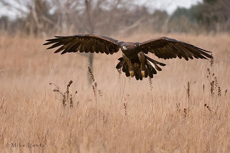Golden Eagle hunts over field