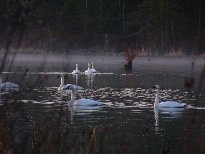 Cygnes trompettes - Trumpeter Swan