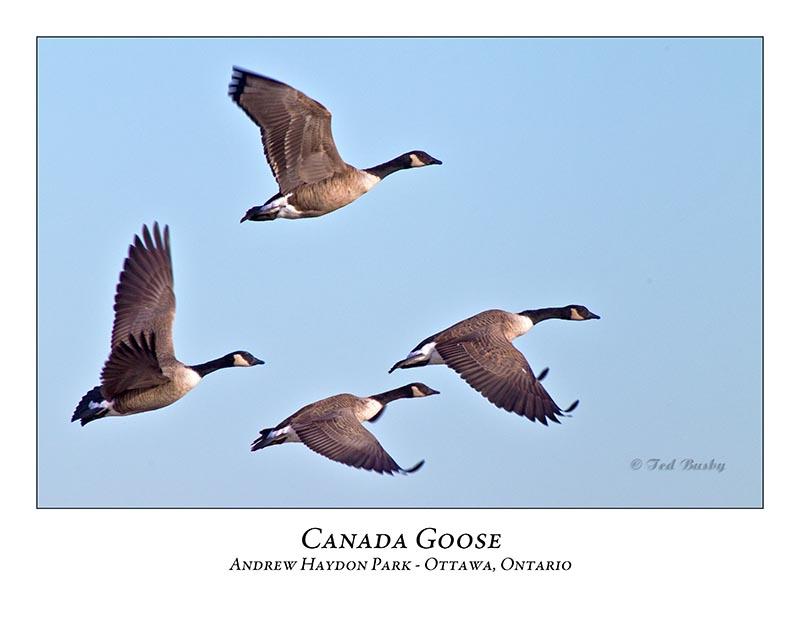 Canada Goose-022