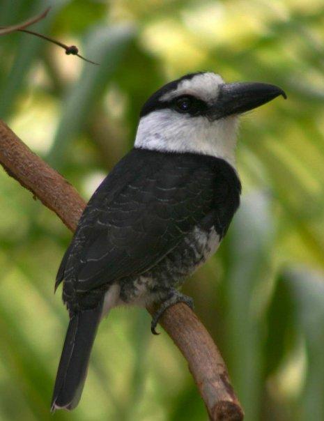 Puff Bird
