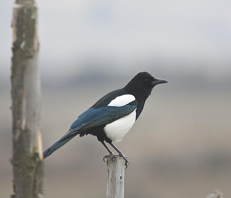 Black-bellied Magpie