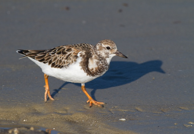 Ruddy Turnstone Winter