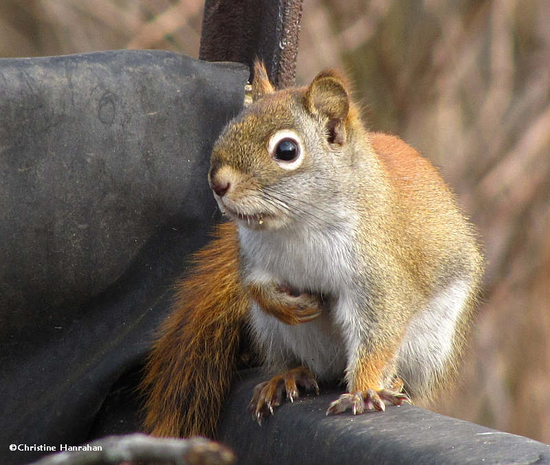 Red squirrel on compost bin