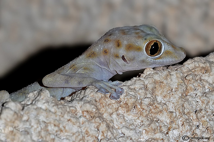 Ptyodactylus hasselquisti