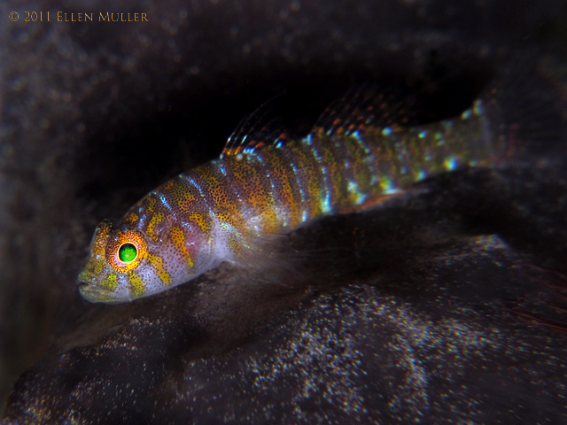 Bluegold Goby