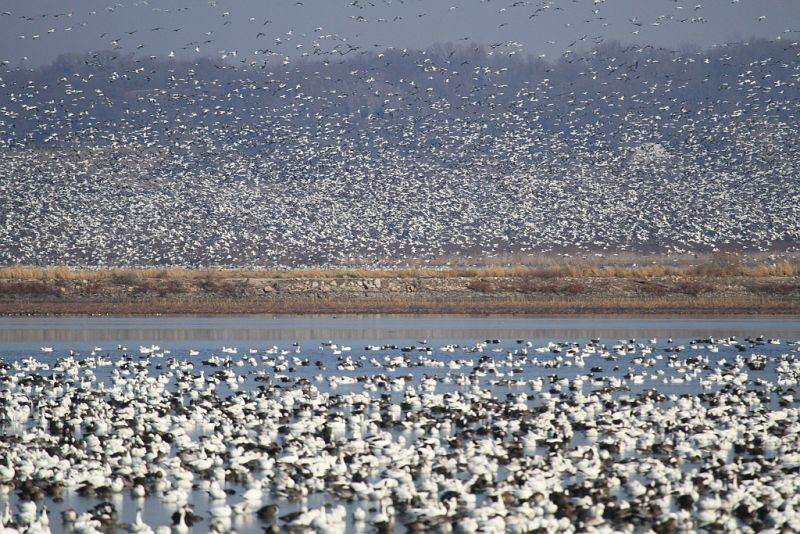 Greater white-fronted geese and Snow geese