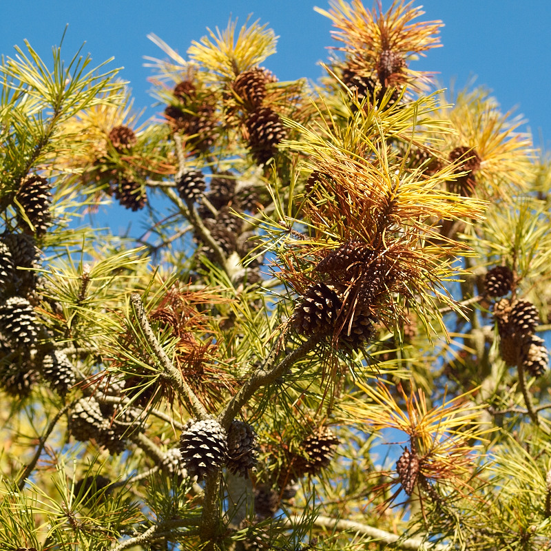 2011-10-20 Blue sky and pinetree