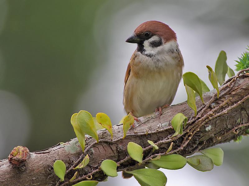 Eurasian Tree Sparrow - Passer montanus - Ringmus