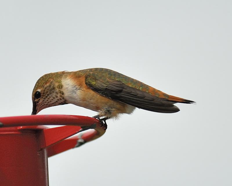 rufous hummingbird BRD5846.JPG