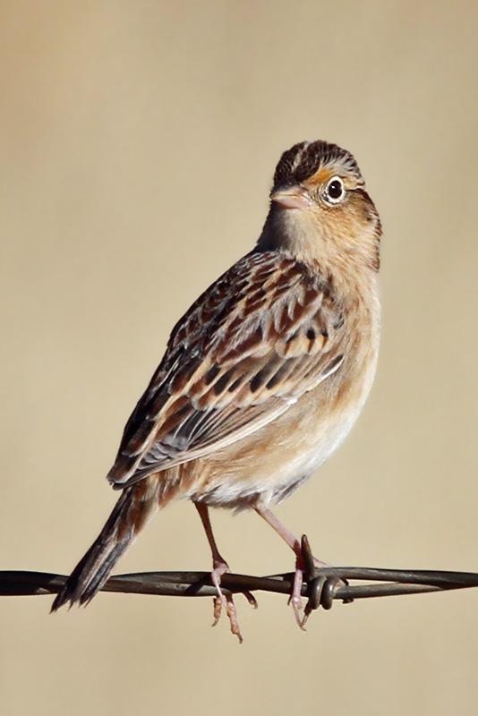 IMG_5057a Grasshopper Sparrow.jpg