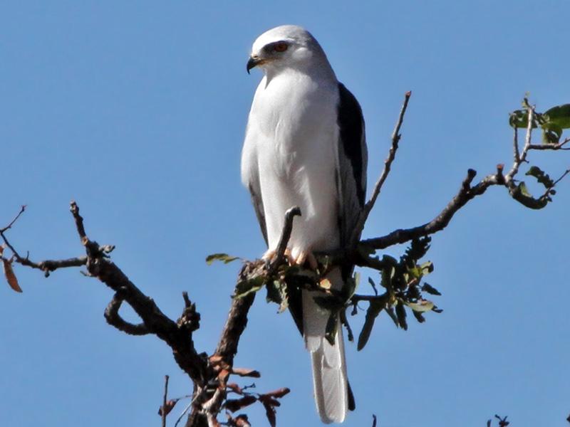 IMG_3504 White-tailed Kite.jpg