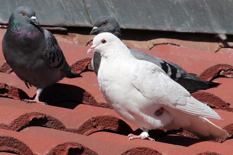 IMG_3626a Rock Pigeon.jpg