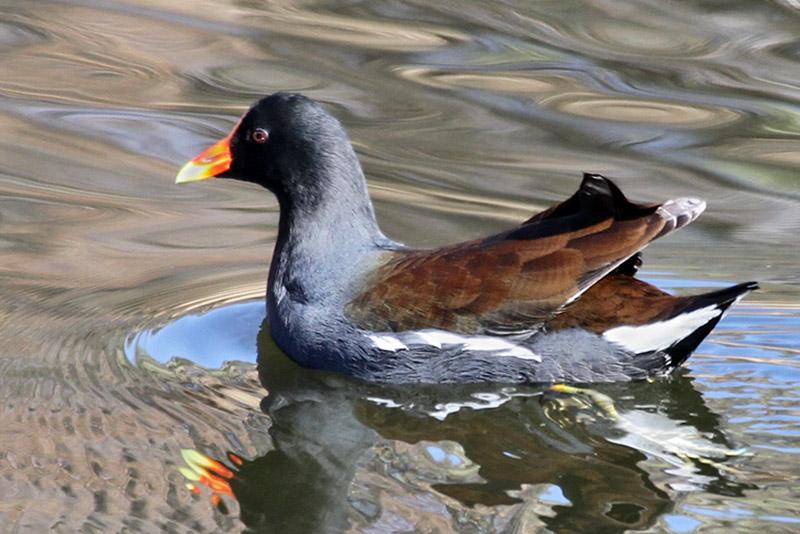 IMG_4521a Common Gallinule.jpg
