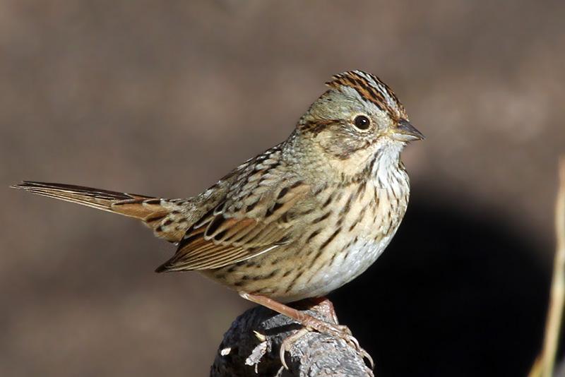 IMG_4493a Lincolns Sparrow.jpg