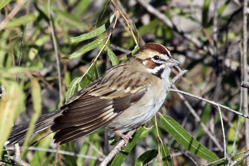 IMG_4477a Lark Sparrow.jpg