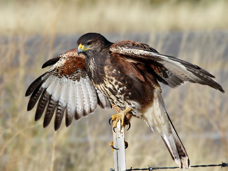 IMG_5381b Harriss Hawk juvenile.jpg