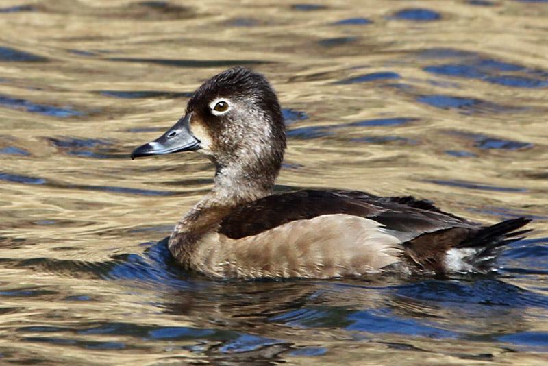 IMG_4176a Ring-necked Duck female.jpg