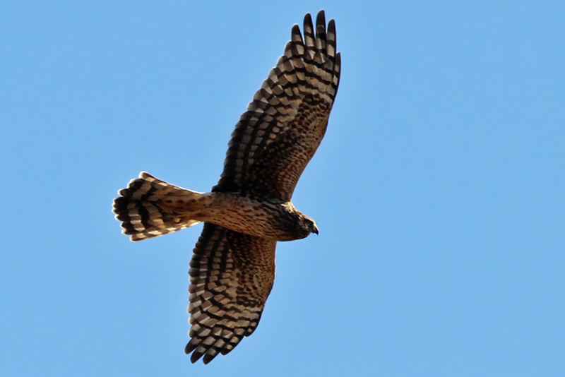 IMG_5551a Northern Harrier.jpg