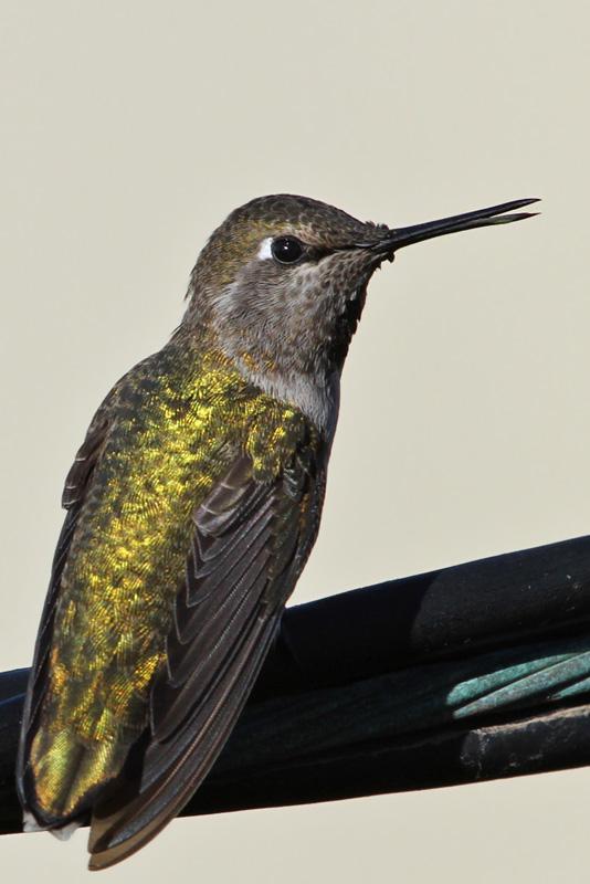 IMG_4359a Annas Hummingbird female.jpg
