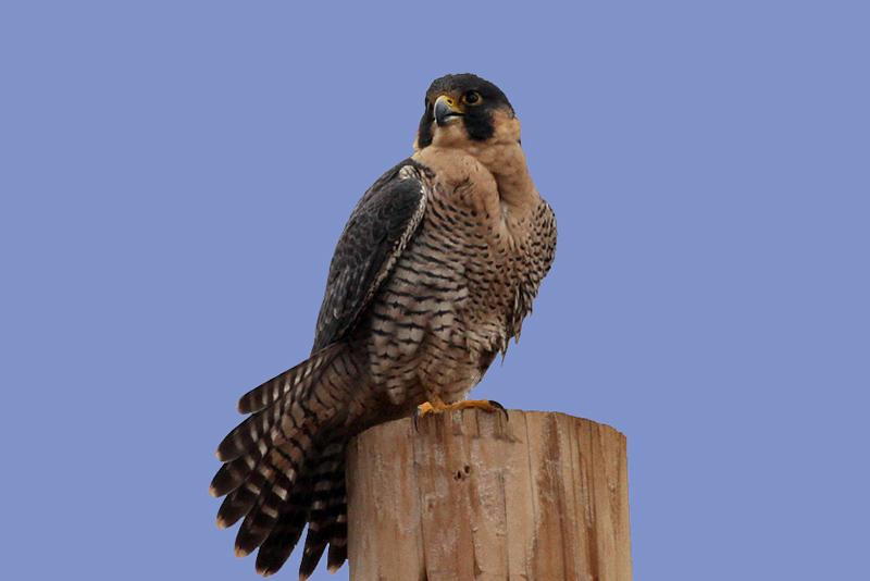 IMG_6151 Peregrine Falcon male.jpg
