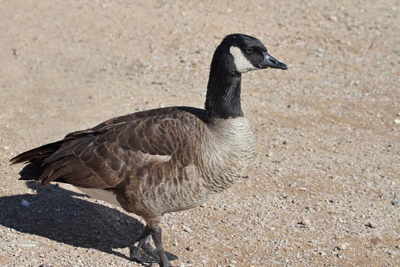 IMG_6655 Canada Goose.jpg