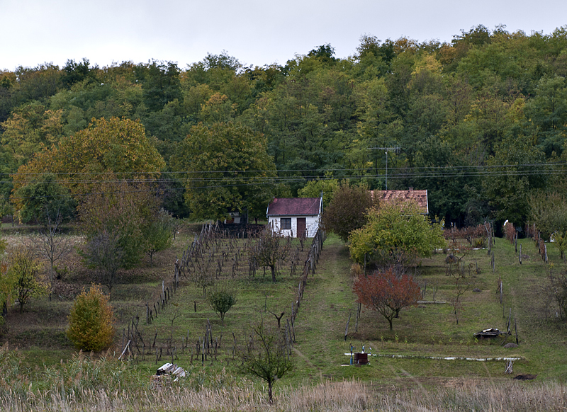 Front-yard vineyard