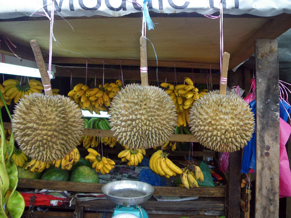 Hanging Durian Fruits!