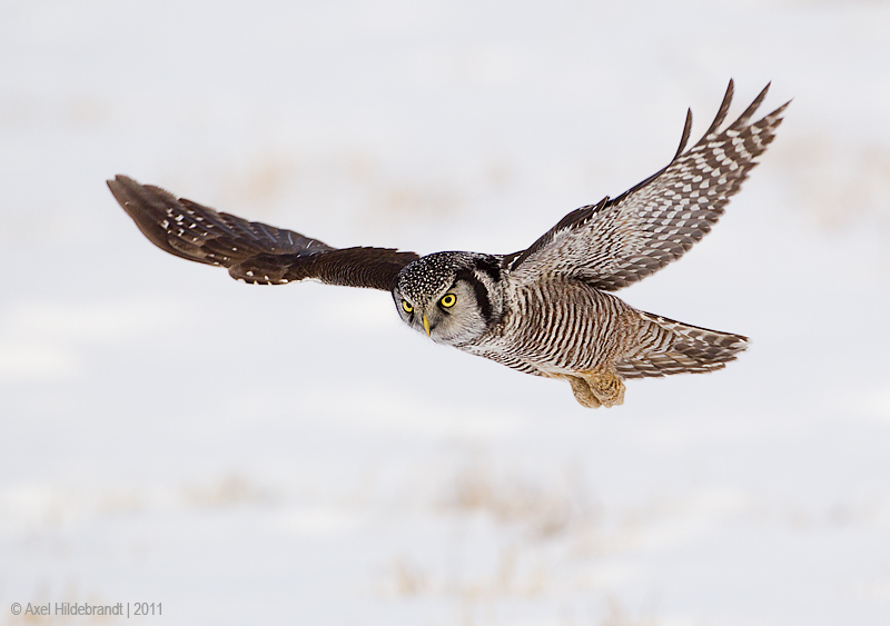 NorthernHawkOwl20c8980.jpg