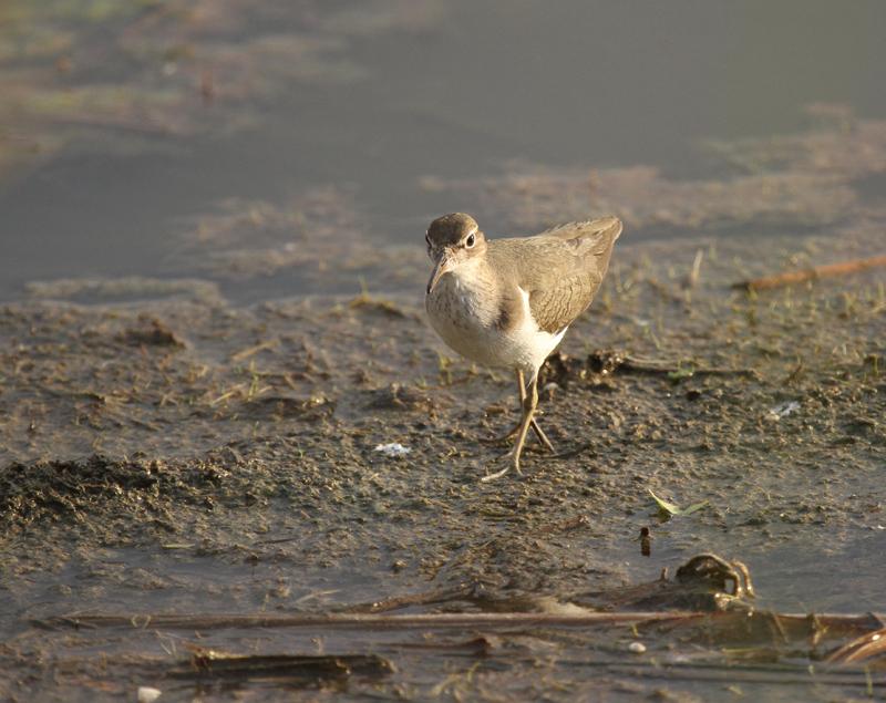 Spotted Sandpiper, Estero Llano Grande SP