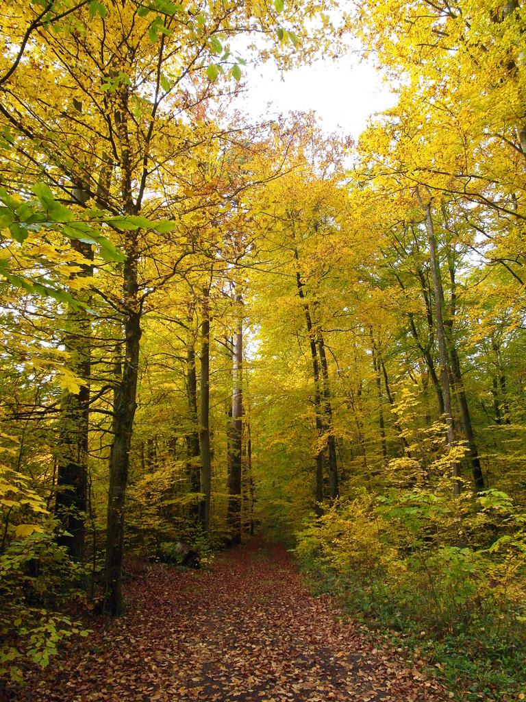 la forêt de Romanswiller