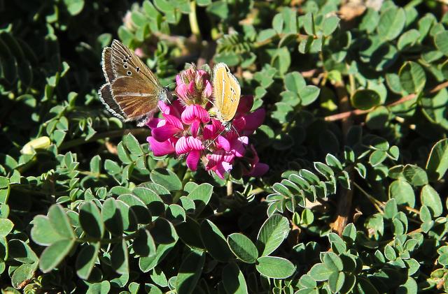 les papillons des Alpes