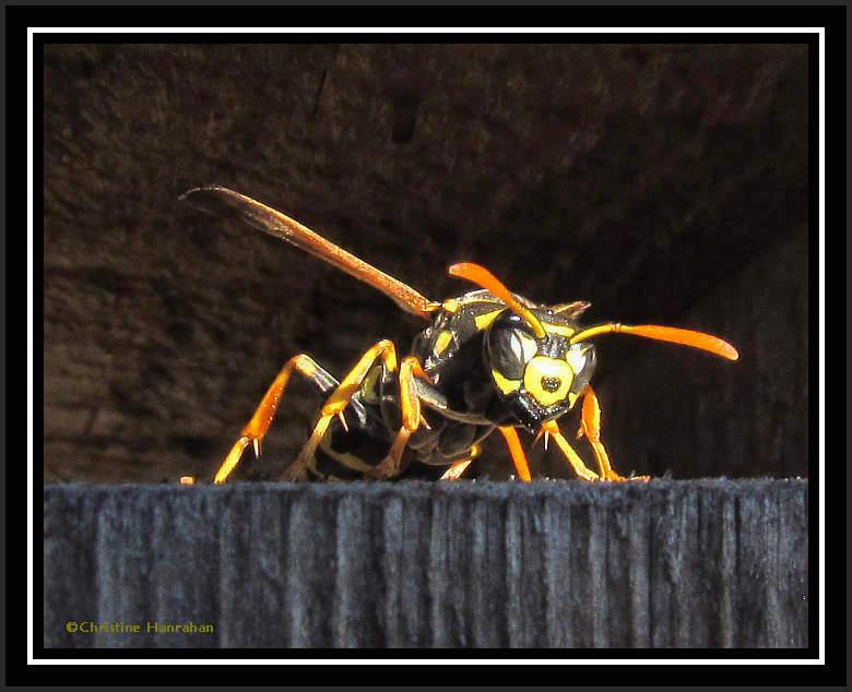 European paper wasp (<em>Polistes dominula</em>)