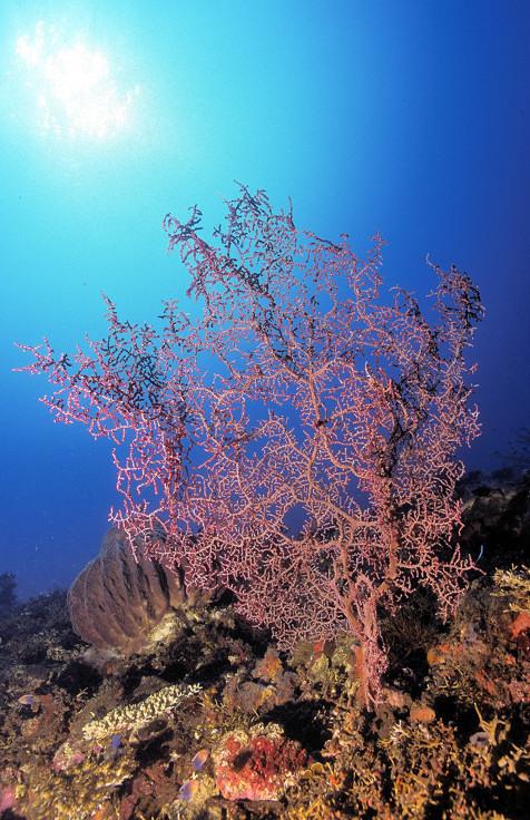 Purple SeaFan