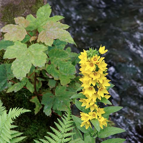 Dotted Yellow Loosestrife