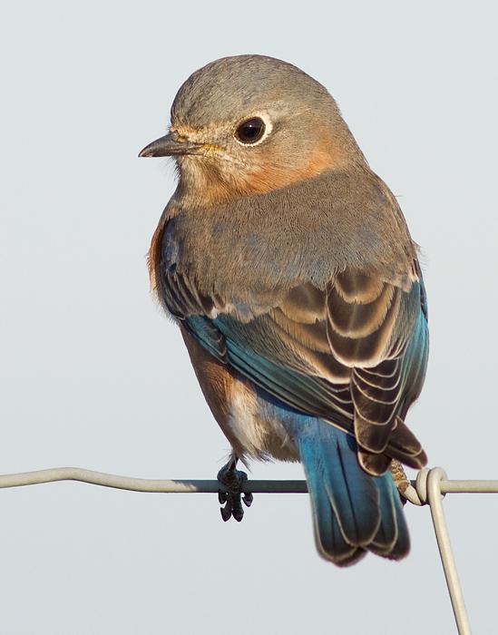 bluebird 67