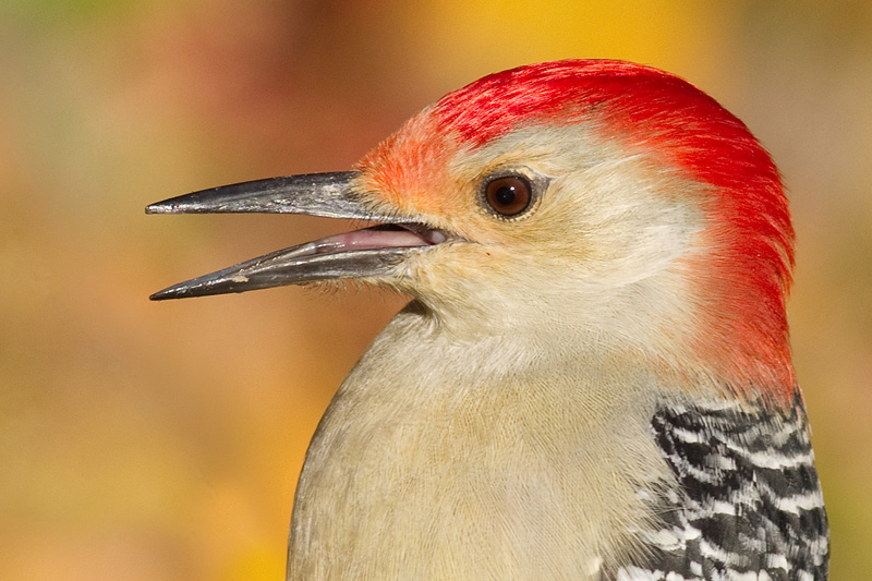 red-bellied woodpecker 229