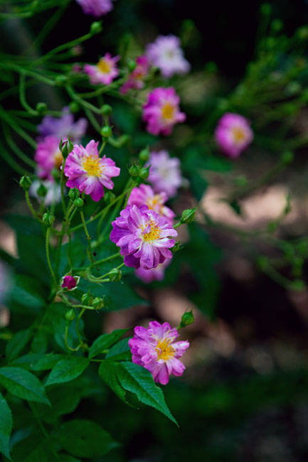 Sweet briar or Eglantine Rose